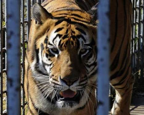 Court: Grosse Tete truck stop tiger must be moved | Animals R Us | Scoop.it