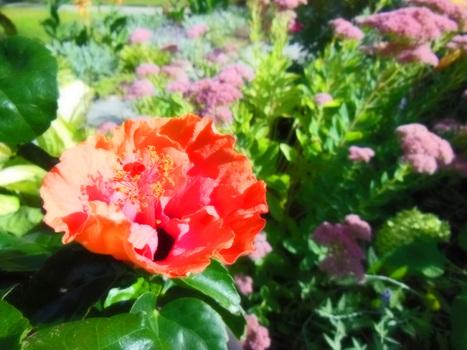 Bush In A Pot – Review of Hibiscus rosa-sinensis 'Erin Rachel' | Annie Haven | Haven Brand | Scoop.it