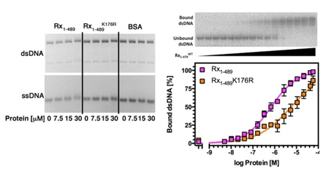 JBC: The Potato Nucleotide-Binding Leucine-Rich Repeat (NLR) Immune Receptor Rx1 is a Pathogen Dependent DNA-Deforming Protein (2015) | Plants and Microbes | Scoop.it
