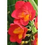 All Flower Bulbs, Seeds online India, Flower seeds online purchase india | Buy flower seeds online, Flower seeds online, Garden seeds, Flower seeds, Herb seeds | Scoop.it