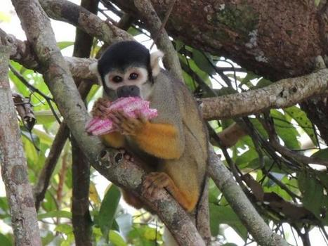 Endangered monkeys in the Amazon are more diverse than previously thought, study finds | Rainforest EXPLORER:  News & Notes | Scoop.it