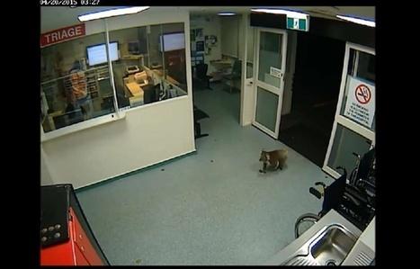 VIDEO. Australie: Un koala aux urgences de l'hôpital | Biodiversité | Scoop.it