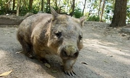 Two of #Australia's three #wombat species under threat from killer disease | Messenger for mother Earth | Scoop.it