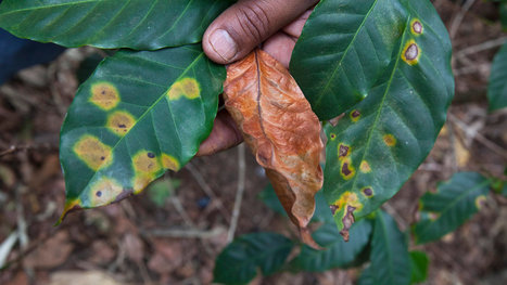 Fungus Cripples Coffee Production Across Central America | Sustain Our Earth | Scoop.it