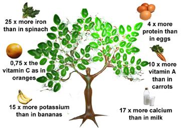 MORINGA OLEIFERA: All About Moringa Tree | Hydroponic Business | Scoop.it