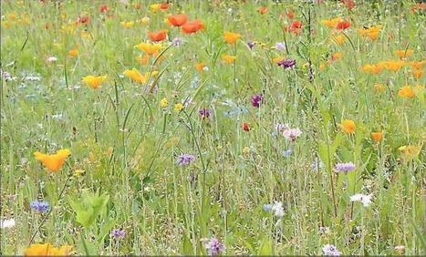 Les prairies naturelles et fleuries - L'Indépendant -22 JUILLET 2016 | Revue de presse Nova-Flore | Scoop.it