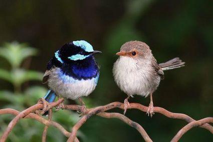 Le mérion apprend un mot de passe à ses oisillons ! | Ecology view | Scoop.it