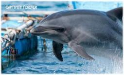 Taiji Dolphin Hunters Gives Dolphin Family The Gifts of Imprisonment and Death | Dolphins | Scoop.it