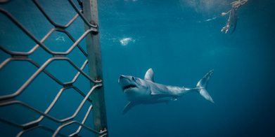 Fears #cage #diving is increasing #shark risk ~ #NZ ~ follow #boats4Food | Rescue our Ocean's & it's species from Man's Pollution! | Scoop.it