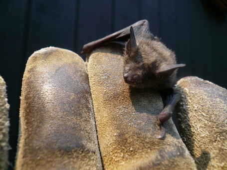 Shaver's Creek witnessing collapse of Pennsylvania bat population | Penn State University | Our Evolving Earth | Scoop.it
