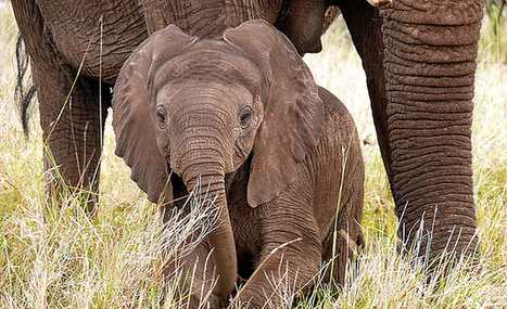 Poaching threatening African elephants | Wildlife Trafficking: Who Does it? Allows it? | Scoop.it