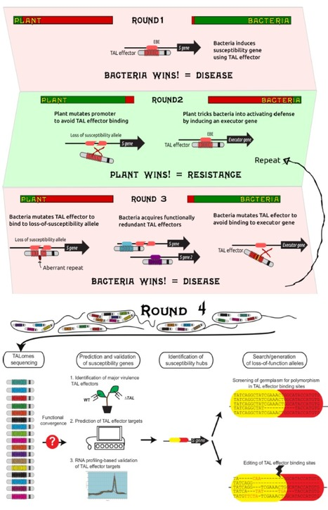 Front. Plant Sci.: MorTAL Kombat: the story of defense against TAL effectors through loss-of-susceptibility (2015) | Effectors and Plant Immunity | Scoop.it