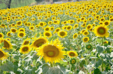 The traveling foodie: Sunflower fields forever - Le Marche | harshitha | Scoop.it