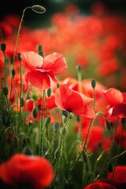Green Poppies: Pesticides in flowers   Environment & Ecology   Scoop.it