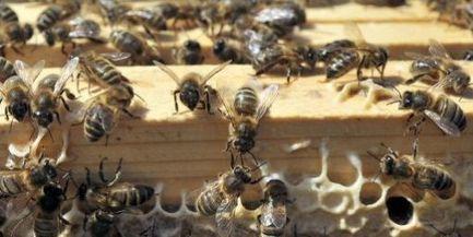Faute d'abeilles, des milliards de dollars perdus? | apiculture 2.0 | Scoop.it