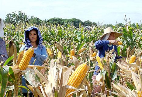 Philippine corn prices up on El Niño | Grain du Coteau : News ( corn maize ethanol DDG soybean soymeal wheat livestock beef pigs canadian dollar) | Scoop.it