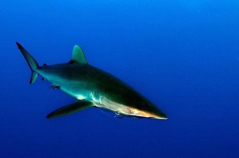 7 Alarming Facts About the Shark Fin Trade | Ocean News | Scoop.it