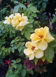 Arizona Gardeners: Pruning roses to keep bushes healthy, producing quality flowers  Tri-Valley Dispatch (Casa Grande AZ) | CALS in the News | Scoop.it