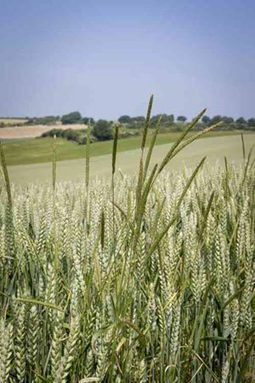 BBSRC mention: Researchers seize the black-grass initiative | BIOSCIENCE NEWS | Scoop.it