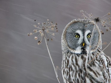 Your Photo of the Day – Owl in the Snow | Headlines | Scoop.it