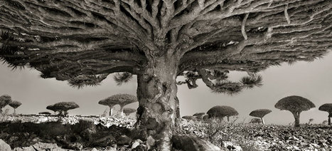 Photographies of World's Oldest Trees | 16s3d: Bestioles, opinions & pétitions | Scoop.it