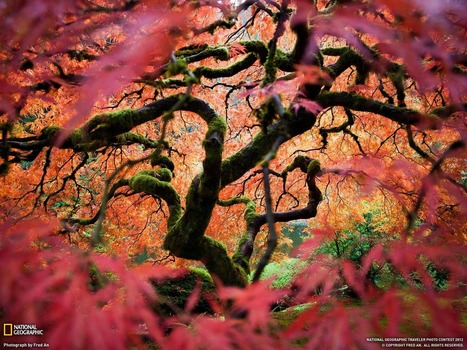 Japanese Maple | Harmony Nature | Scoop.it