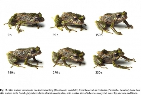 Shape-shifting frog discovered in the Ecuadorian Andes | Amazing Science | Scoop.it