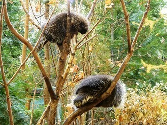 Secrets of the Porcupine Quill Could Help Us Make Better Medical Supplies   Devicology   Scoop.it