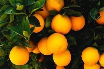 Le cours du jus d'orange s'affole : +30% en sixsemaines   Le Journal du Siècle : L'actualité au fil du temps   Scoop.it