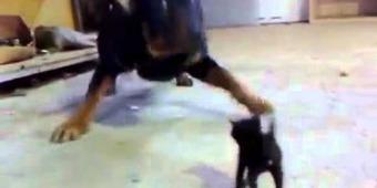 Un chaton contre un rottweiller | Envie de se Marrer,Videos Humour, Image insolite,Blagues Marrantes | Envie de se Marrer | Scoop.it