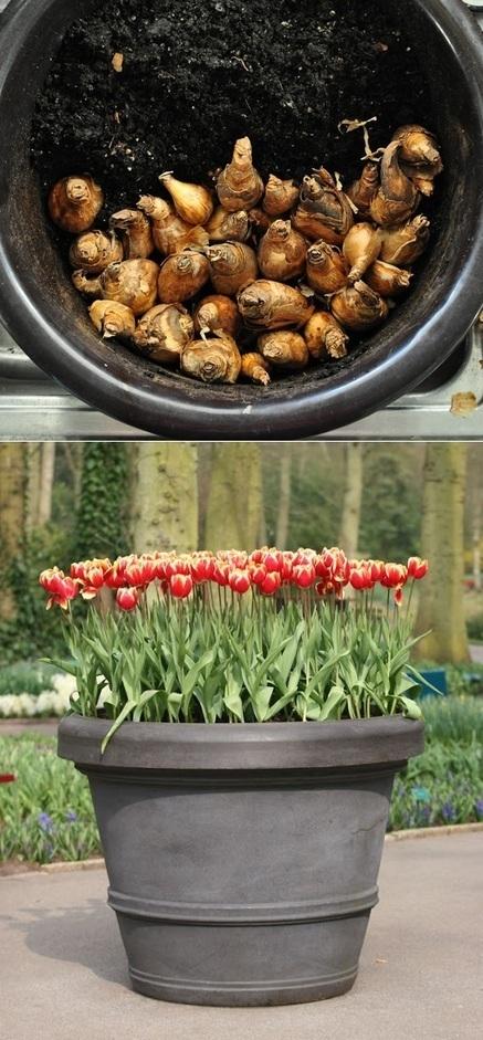 Growing Tulips in Pots | Backyard Gardening | Scoop.it