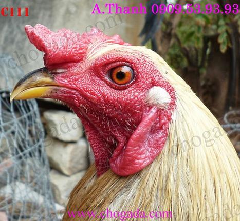 Toàn Quốc Bán gà chuối vàng - gà mỹ rặt dòng Hatch 2014   diendanmuaban   Scoop.it