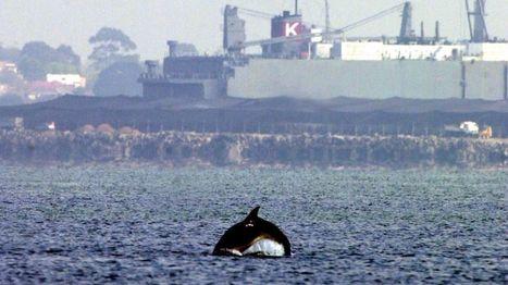 New dolphin species discovered in Victoria, Australia | Australian animals | Scoop.it