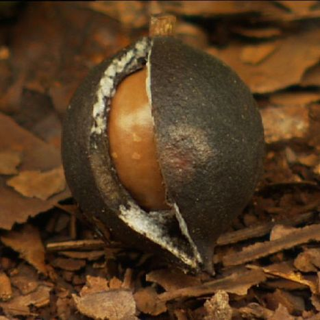Macadamia industry bounces back after booming demand in Asia | Australian Plants on the Web | Scoop.it