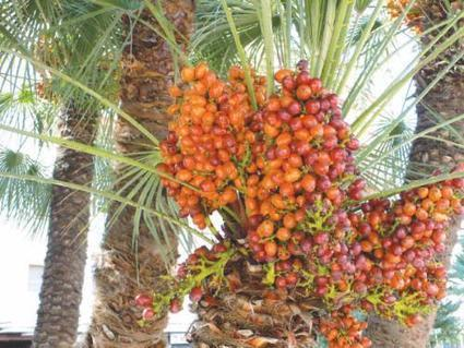 Dates Delicacy: The Fruit of Paradise - Saudi Gazette | Early human societies | Scoop.it