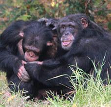 Le chimpanzé généreux mais interessé   Aux origines   Scoop.it