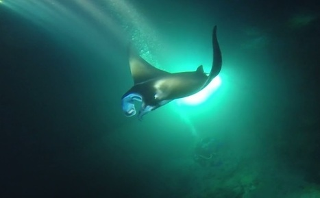 Hawaii Island manta ray viewing tours subject of proposed new rules - KHON2 | Rays' world - Le monde des raies | Scoop.it