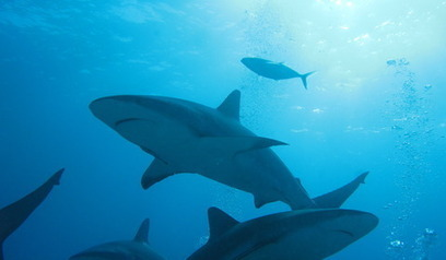 What are the feeding habits of threatened sharks? | #SciFund | Scoop.it