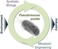 From dirt to industrial applications: Pseudomonas putida as a Synthetic Biology chassis for hosting harsh biochemical reactions | SynBioFromLeukipposInstitute | Scoop.it