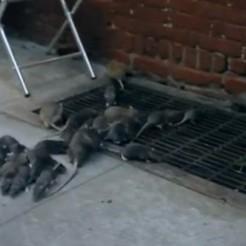 Une vidéo virale dévoile une invasion de rats infectés à New York | Tendances publicitaires et marketing | Scoop.it
