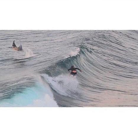 Bali : quand un surfeur croise (sans la voir) une raie manta   Rays' world - Le monde des raies   Scoop.it