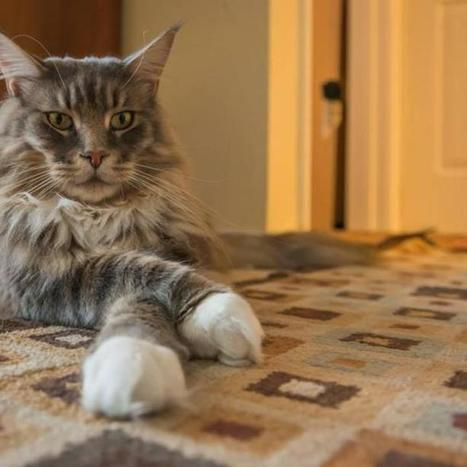 These 10 Cats Are More Awesome Than Yours | Animals | Scoop.it