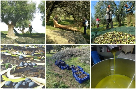 4 Blog Posts about Olive Harvest and Olive Oil in Le Marche | Le Marche another Italy | Scoop.it