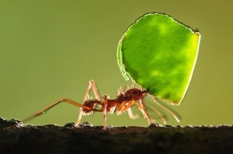 Comment les fourmis acquièrent-elles leur boussole magnétique ? [en anglais] | EntomoNews | Scoop.it
