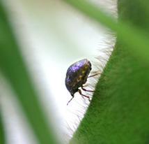 Biocontrol Agent Tested to Battle Invasive Kudzu Bug    USDA ARS   North Carolina Agriculture   Scoop.it