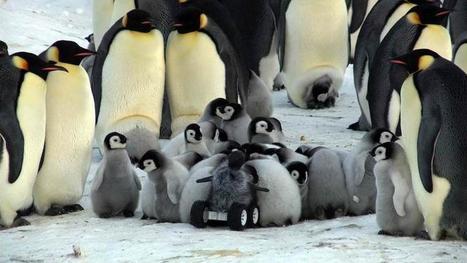 #video Les bébés #manchots meurent du réchauffement climatique #DDU #antarctique | Arctique et Antarctique | Scoop.it
