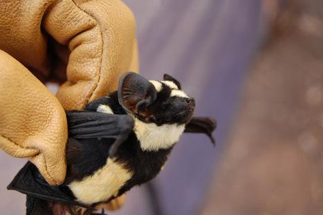ALLPE  : Niumbaha, un nuevo género de murciélagos café y leche | BROTES DE NATURALEZA | Scoop.it