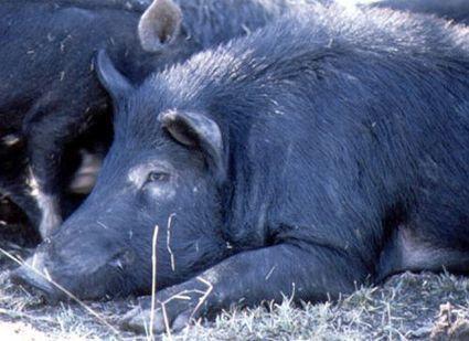 Pig (feral) (Sus scrofa)   Feral Pigs   Scoop.it