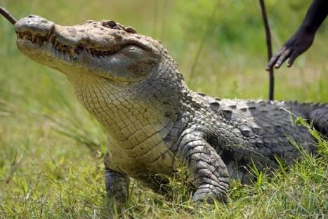 Escaped crocodile 'caused fatal plane crash' | OHS-Cockpit Crew | Scoop.it