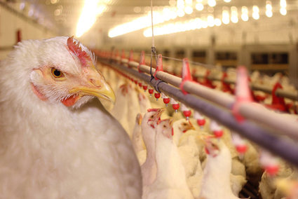 Chicken Meat Sold in USA Contains Arsenic - Guardian Express | Animal Science | Scoop.it